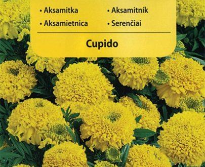 Aksamitka - Cupido - Vilmorin-0