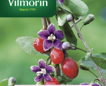 Kolcowój szkarłatny Jagody goji - Vilmorin-0