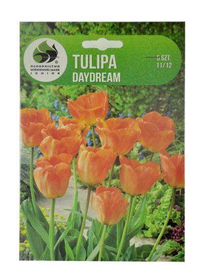 Tulipan Darwina -Tulipa Junior Daydream 11/12 - 5 sztuk-0