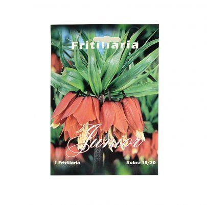 Szachownica - Fritillaria Junior Rubra 18/20 - 1 sztuka-0